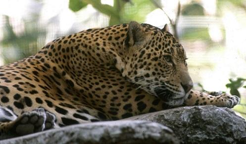 En el norte de Sonora se encuentra una de las poblaciones más reproductivas de jaguares del país (Foto: Arturo Orta/AMC).