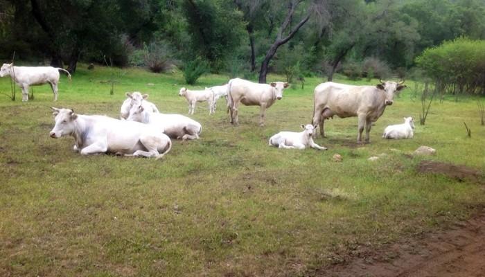 caballos y vacas en san antonio minas