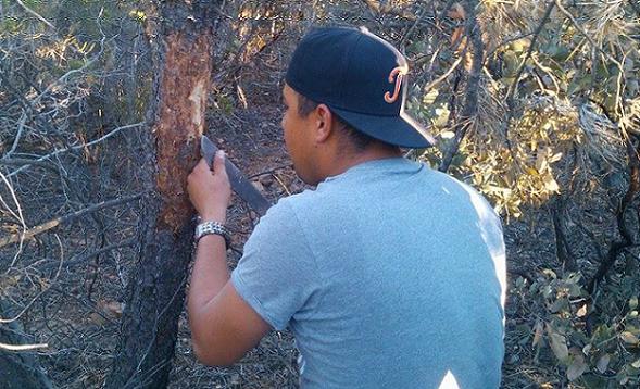 El técnico de la Conafor Arcelio Meza, al momento de verificar la presencia del escarabajo descortezador en Los Attenuatas (Foto: Cortesía).