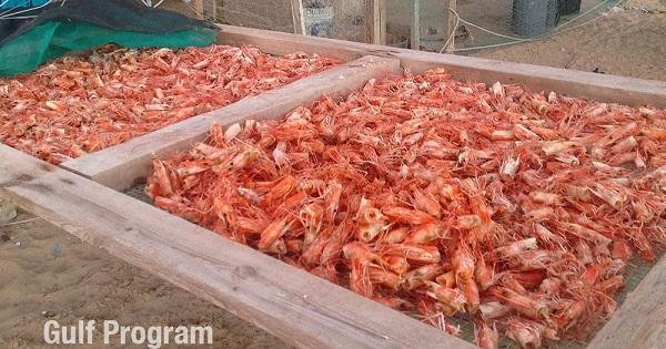 La cabeza del camarón es una rica fuente de nitrógeno para el suelo y las plantas permitiendo un aumento en la productividad (Foto: Gulf Program).