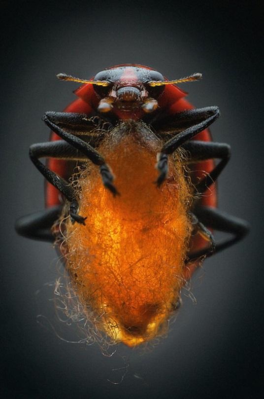 El nacimiento de la Dinocampus coccinellae es fascinante, aunque está muy lejos de ser tierno. Esta avispa parasitaria convierte a la mariquita a la que infecta en nido, biberón y guardaespaldas de su prole. Anand Varma/National Geographic Creative