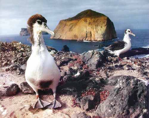 La isla Guadalupe en el Pacífico es un santuario para muchas especies de aves. Los albatros de Laysan son algunos de sus moradores. La imagen forma parte del libro Isla Guadalupe, restauración y conservación (Foto: Internet).
