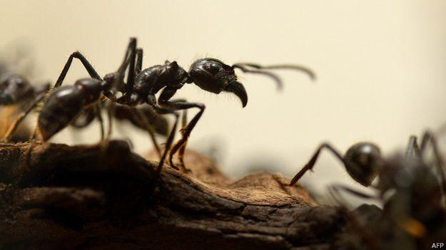 En la Tierra hay cerca de 14.000 especies de hormigas.
