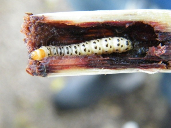 El gusano barrenador de la caña de azúcar (Foto: internet).
