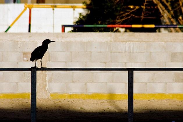 Garza Nocturna, en el barandal del patio de la escuela en 2008.