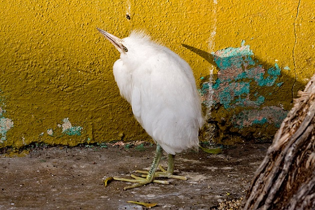 """Juvenil de Garza blanca o de """"Pies Dorados"""" en la barda de entrada a la escuela Corregidora en 2008."""