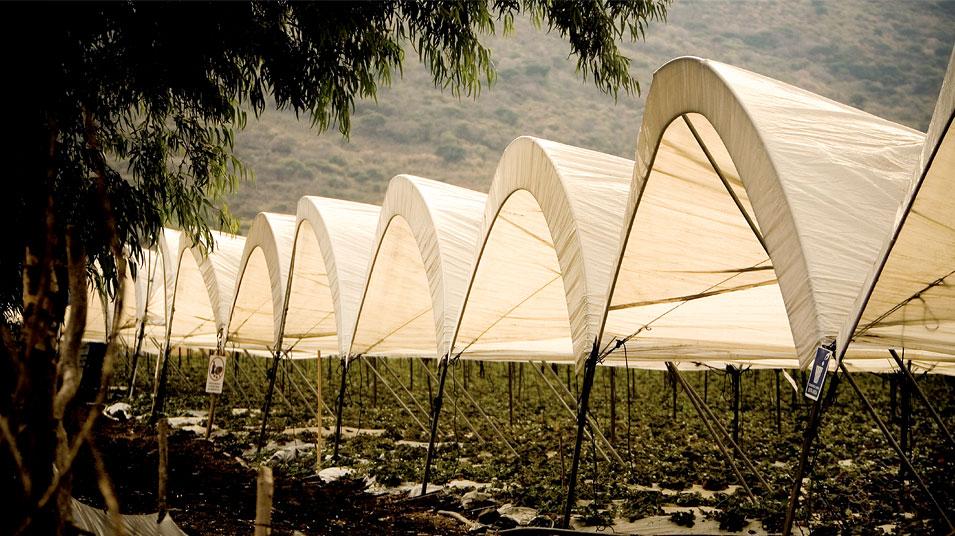 Cultivo de fresas con invernadero de la empresa BerryMex (Foto: BerrtMex).