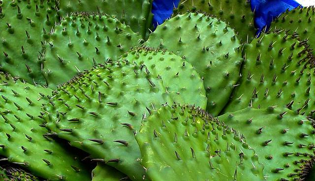 El uso del nopal para producir energía, es una oportunidad para los productores de esta planta natural de México (1)