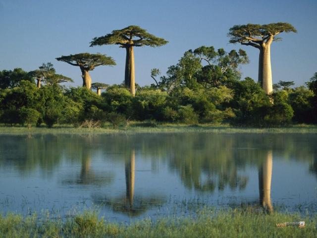 Baobabs de Madagascar (Internet).
