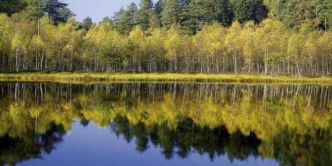 El bosque polaco de Bialowieza (Internet).