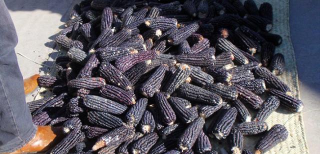 Desarrollan nuevos alimentos con base a maíz azul, frijol y amaranto
