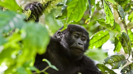 Pequeño gorila en el bosque Kafuga (Foto: Salva la Selva).