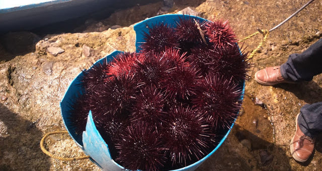 Pesquería sustentable: el caso del erizo rojo en Baja California