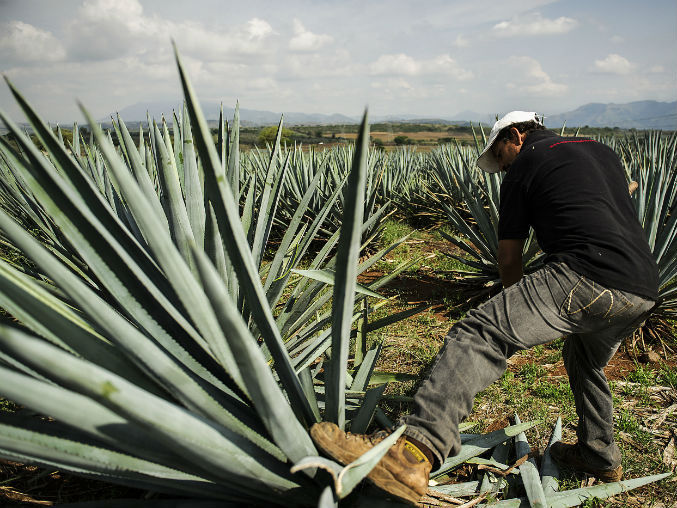 TEQUILERO CON AGAVE
