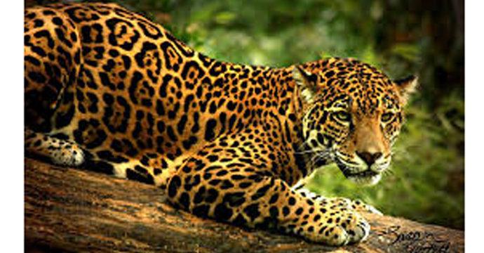 El jaguar, una de las especies que atiende la organización ProNatura en México (Cortesía ProNatura).