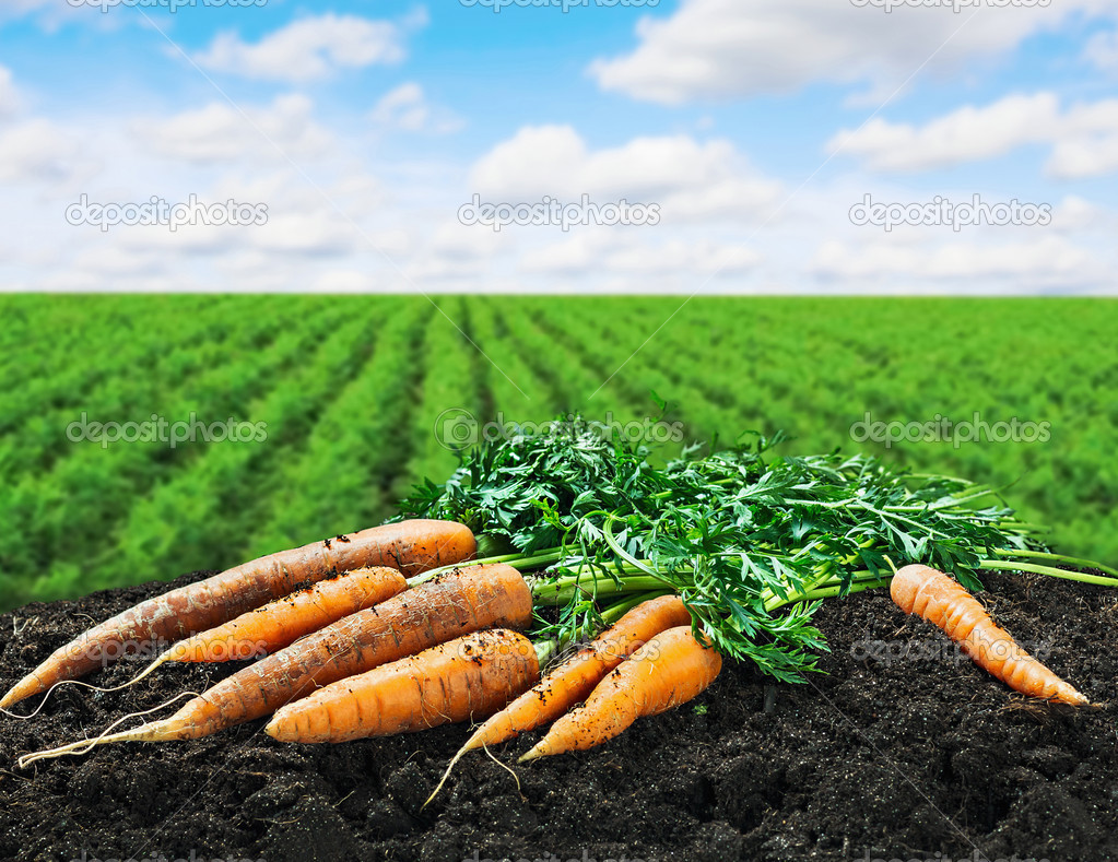 Harvest carrots on the ground on the carrot field