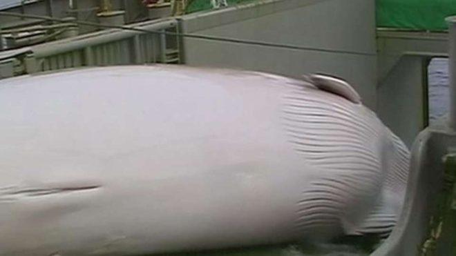 ballena-capturada-buque-japon