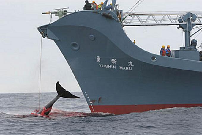 ballenas-aceria-buque-japones