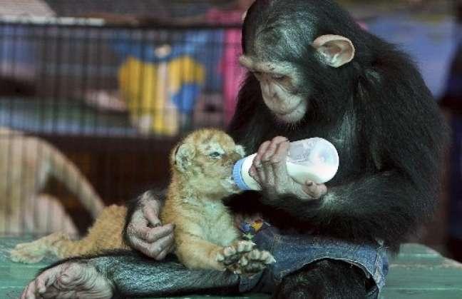chimpance-da-biberon-leoncito