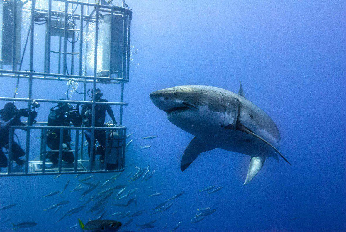 tiburon-blanco-y-jaula-con-buzos