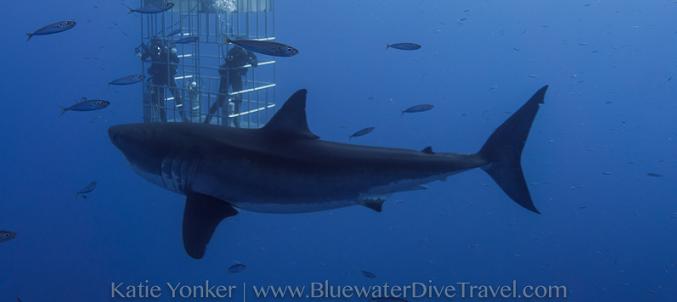 tiburon-blanco-y-observadores