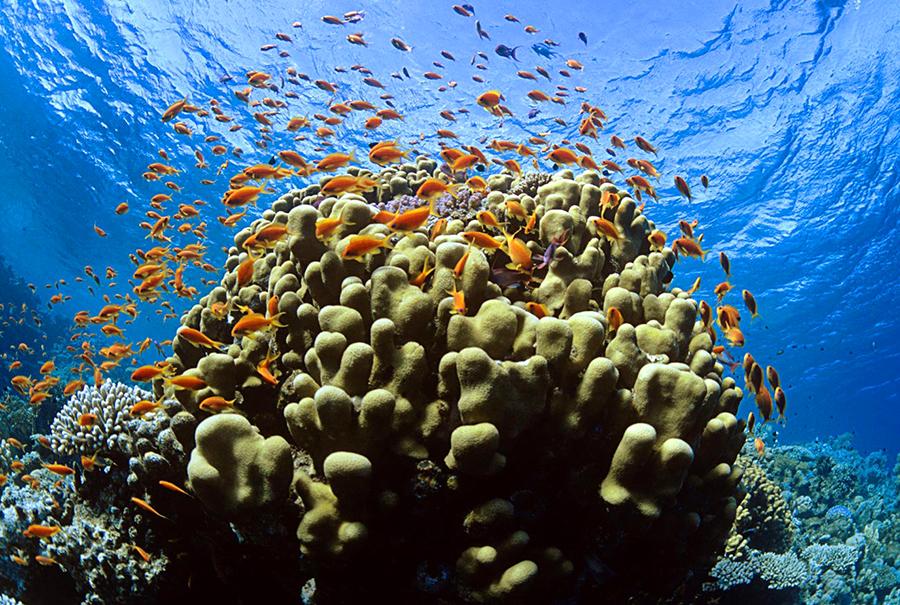 coral-japones-sano