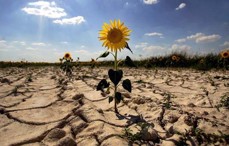 girasol-enmedio-tierra-seca
