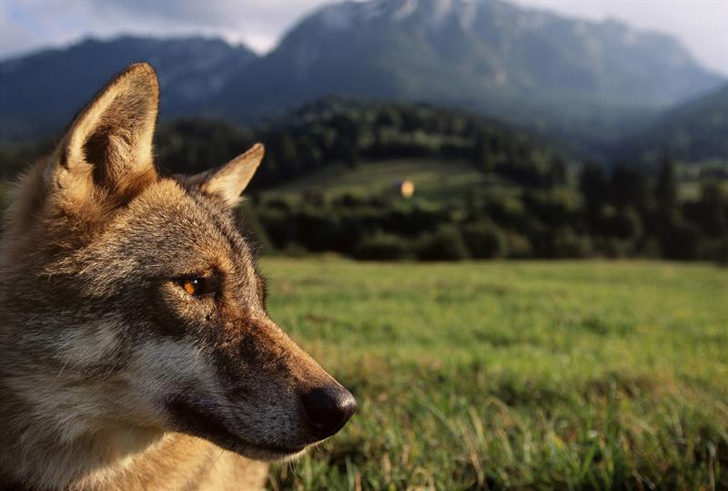 lobo-de-rumania