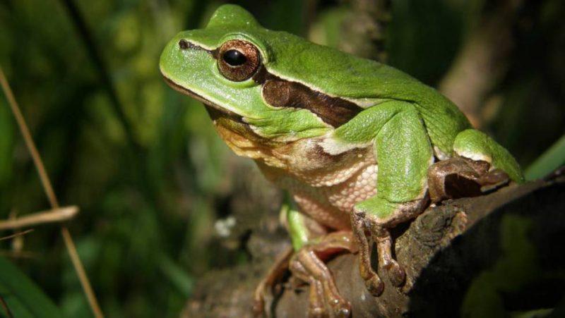 rana-verde-selva