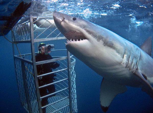 tiburon-blanco-buzo-fotografia