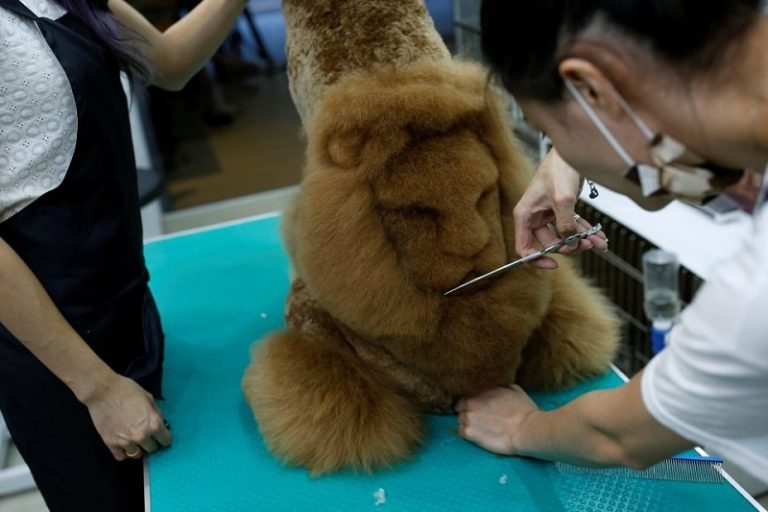 """An employee trims a lion head into the fur of a dog at a pet shop, in Tainan, Taiwan June 19, 2016. REUTERS/Tyrone Siu SEARCH """"PET GROOMING"""" FOR THIS STORY. SEARCH """"THE WIDER IMAGE"""" FOR ALL STORIES"""