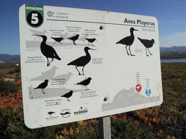 aves-migratorias-estero-punta-banda
