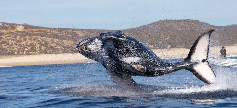ballena-acrobacia-1