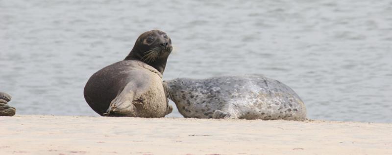 cicese-foca-comun-punta-banda