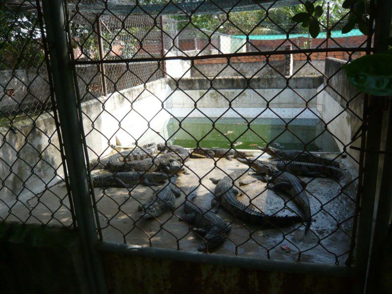 cocodrilos-confinados-peta