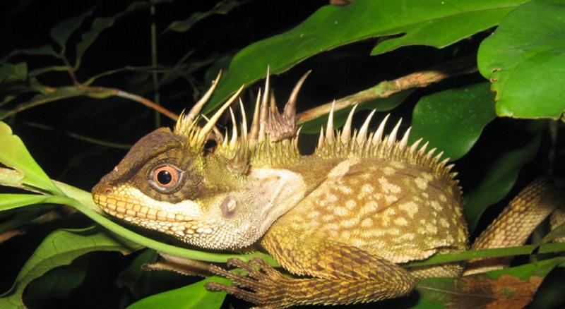 lagartija-cuernos-mekong
